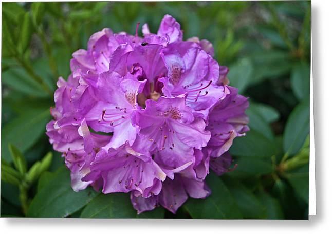Festivities Greeting Cards - Rhododendron Elegance Greeting Card by Douglas Barnett