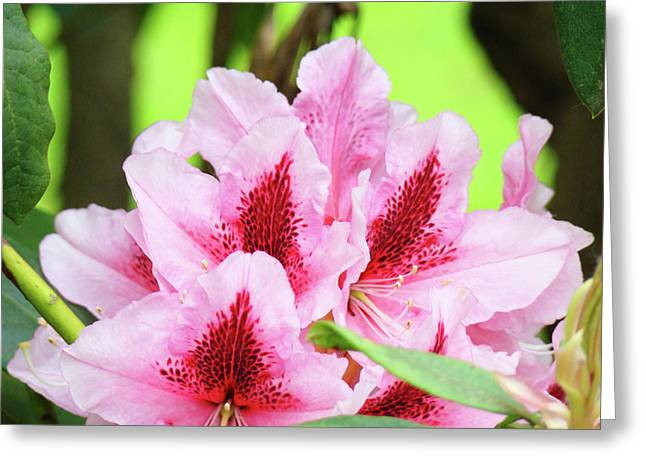 Pink Rhodies Greeting Cards - Rhododendron Floral Art Prints Rhodies Flowers Canvas Baslee Troutman Greeting Card by Baslee Troutman