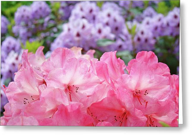 Pink Rhodies Greeting Cards - Rhododendron Floral Garden art prints Pink Purple Rhodies Greeting Card by Baslee Troutman