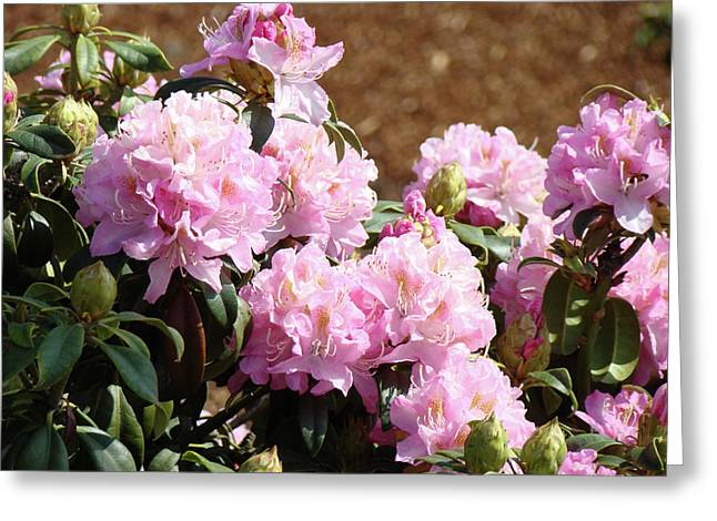Pink Rhodies Greeting Cards - Rhododendron Flower Garden Art Prints Canvas Pink Rhodies Baslee Troutman Greeting Card by Baslee Troutman