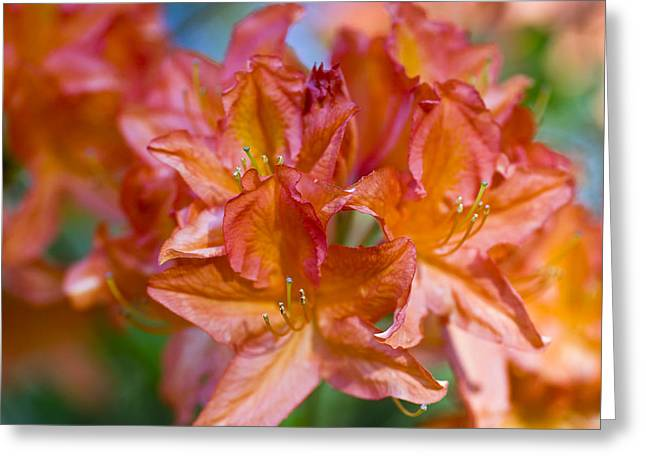 Flower Pictures Greeting Cards - Rhododendron flowers Greeting Card by Frank Tschakert