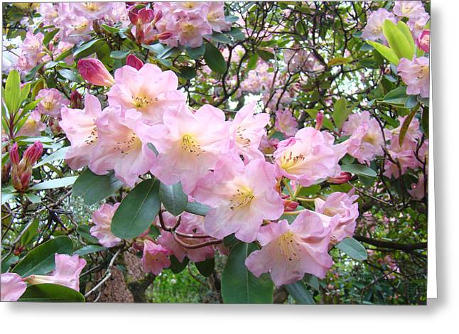 Pink Rhodies Greeting Cards - Rhododendron Flowers Garden art prints Floral Baslee Troutman Greeting Card by Baslee Troutman