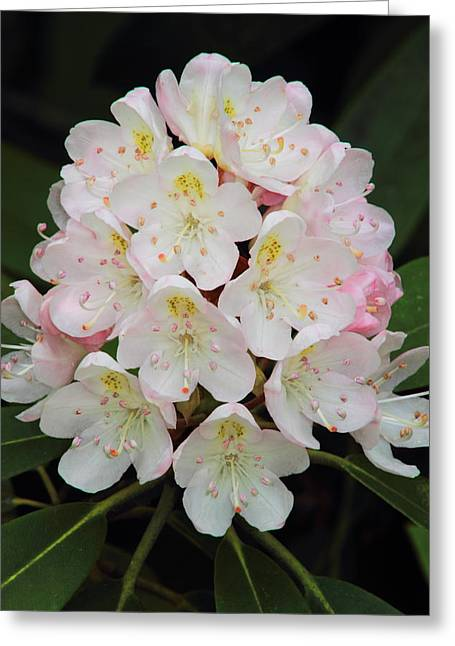 Rhododendron Maximum Greeting Cards - Rhododendron maximum Greeting Card by John Burk