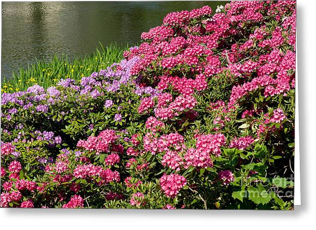 Rhododendron Named Azalea Abloom Park In Warsaw  Greeting Card by Arletta Cwalina