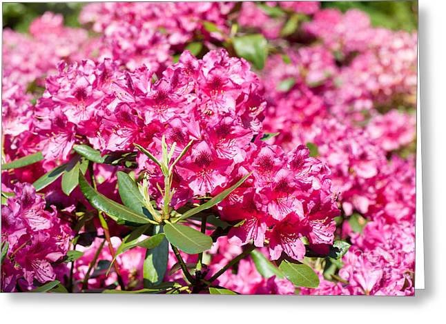 Rhododendron Or Azalea Blossoms Bunch Greeting Card by Arletta Cwalina