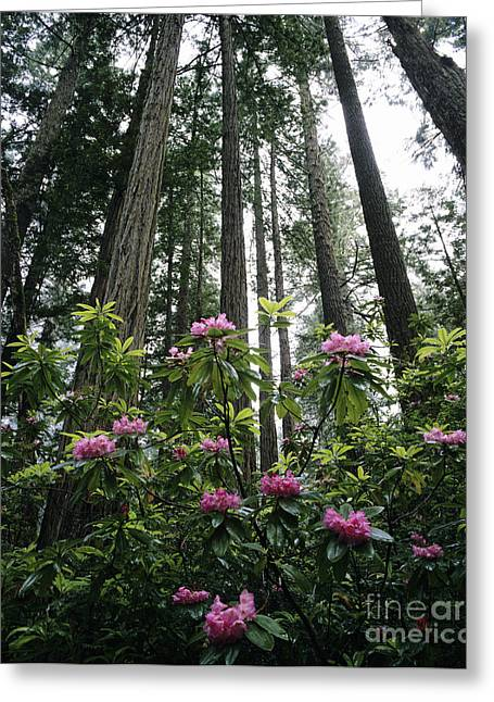 Howell Greeting Cards - Rhododendrons and Redwoods Greeting Card by Michael Howell - Printscapes