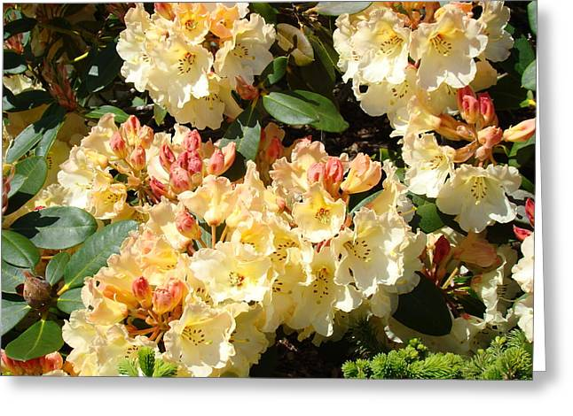 Rhododendrons Garden Art Prints Creamy Yellow Orange Rhodies Baslee Greeting Card by Baslee Troutman