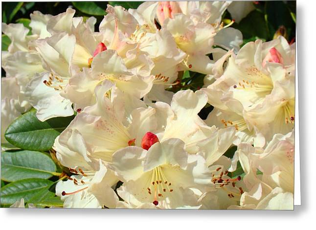 Pink Rhodies Greeting Cards - Rhododenrons Floral Art Prints Yellow Pink Rhodies Baslee Troutman Greeting Card by Baslee Troutman