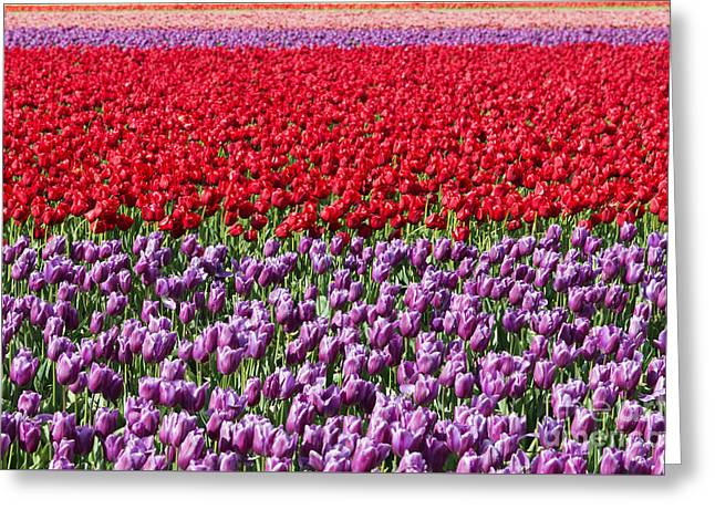 Tulip Fields Greeting Cards - Ribbons of Color Greeting Card by Mike Dawson