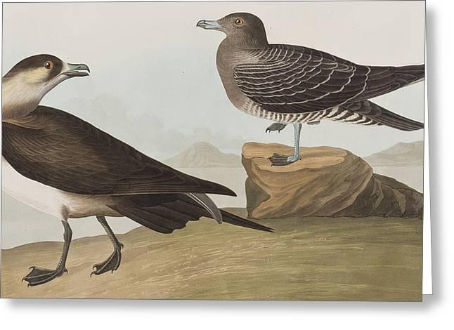 Audubon Drawings Greeting Cards - Richardsons Jager Greeting Card by John James Audubon