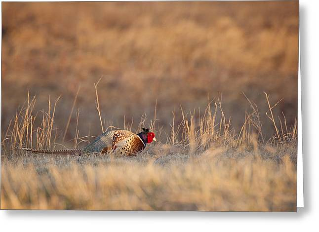 Hunting Bird Greeting Cards - Ring Necked Pheasant Greeting Card by Craig Voth