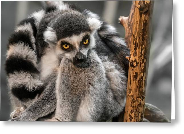Ring Tailed Lemur Greeting Card by Jim Hughes