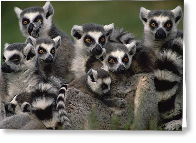 Parks And Wildlife Greeting Cards - Ring-tailed Lemur Lemur Catta Group Greeting Card by Gerry Ellis