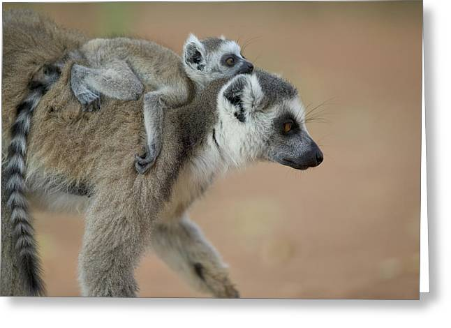 Ring-tailed Lemur Mom And Baby Greeting Card by Cyril Ruoso