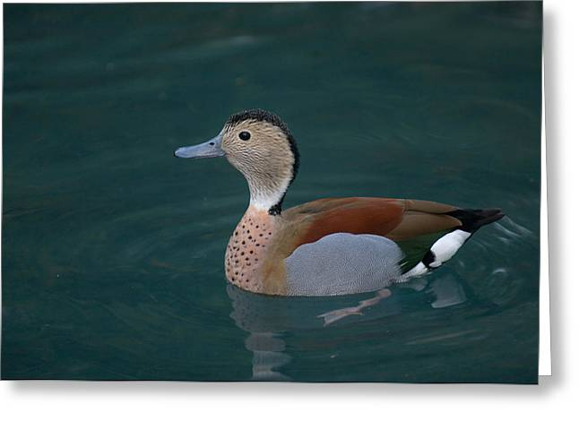Property-released Photography Greeting Cards - Ringed Teal Duck Callonetta Leucophrys Greeting Card by Joel Sartore