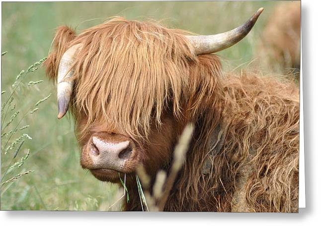 Steer Greeting Cards - Ringo Greeting Card by Bill Cannon