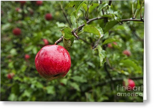 Ripe Apples. Greeting Card by John Greim