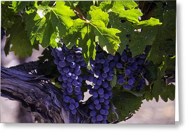 Ripe Grapes Greeting Card by Garry Gay