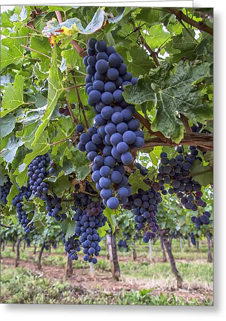 Grape Vines Greeting Cards - Ripe Grapes on the Vine Greeting Card by Nomad Art And  Design