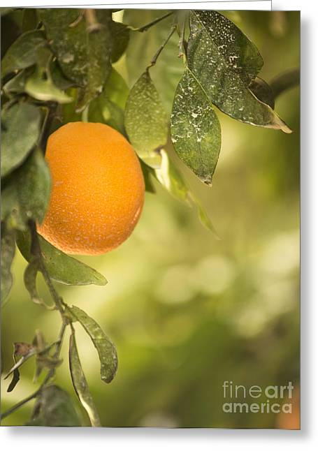 Grove Greeting Cards - Ripe Orange Greeting Card by Juli Scalzi