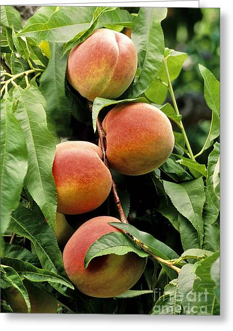 Lady Washington Greeting Cards - Ripe Peaches Greeting Card by Inga Spence