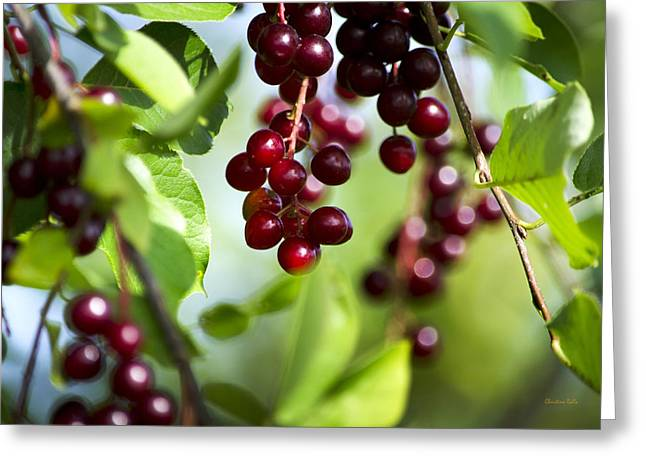 Fruit Tree Photographs Greeting Cards - Ripe Red Cherries Jubilee Greeting Card by Christina Rollo