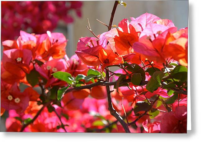 Riviera Flowers Greeting Card by Corinne Rhode