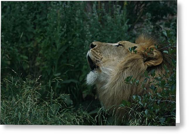 Wildcats Greeting Cards - Roar of the Lion Greeting Card by Ernie Echols