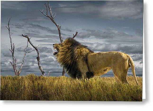Randy Greeting Cards - Roaring African Lion in the Grass Greeting Card by Randall Nyhof