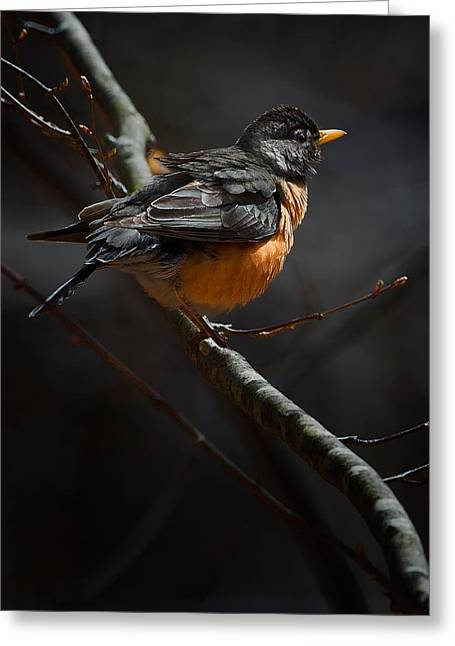 American Robin Greeting Cards - Robin In The Light Greeting Card by Bill Wakeley