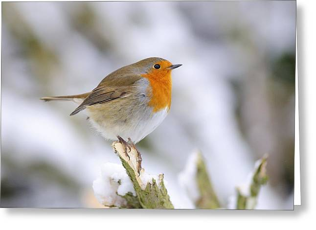 Passerine Greeting Cards - Robin In The Snow Greeting Card by Colin Varndell