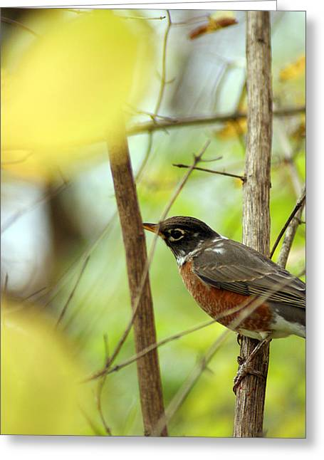 Robin Mixed Media Greeting Cards - Robin Perched Greeting Card by Off The Beaten Path Photography - Andrew Alexander