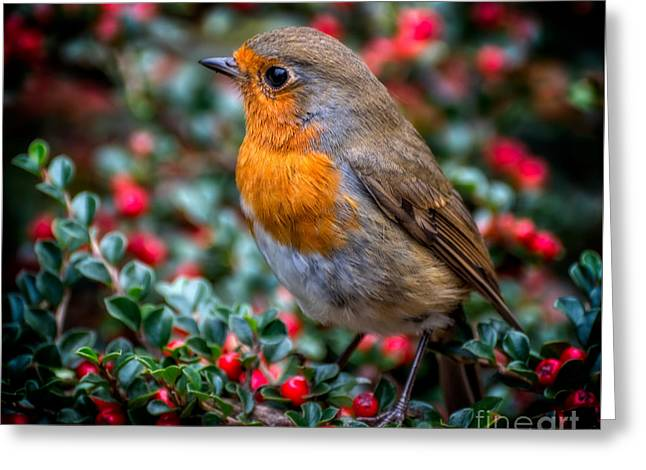 Robin Redbreast Greeting Card by Adrian Evans