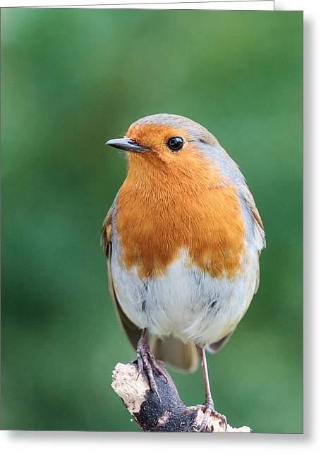 British Portraits Greeting Cards - Robin the red Greeting Card by Katey jane Andrews