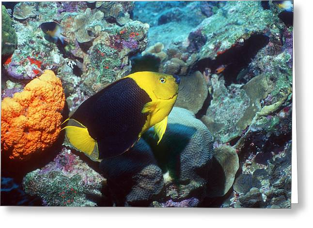 Bony Fish Greeting Cards - Rock Beauty Angelfish Greeting Card by Georgette Douwma