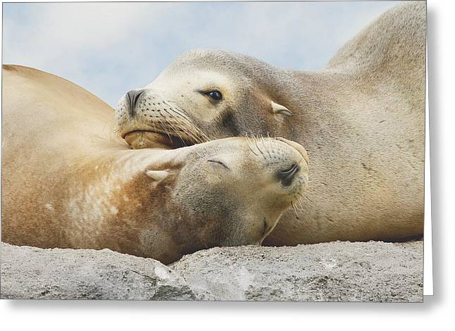 California Sea Lions Greeting Cards - Rock Buddies Greeting Card by Roy  McPeak