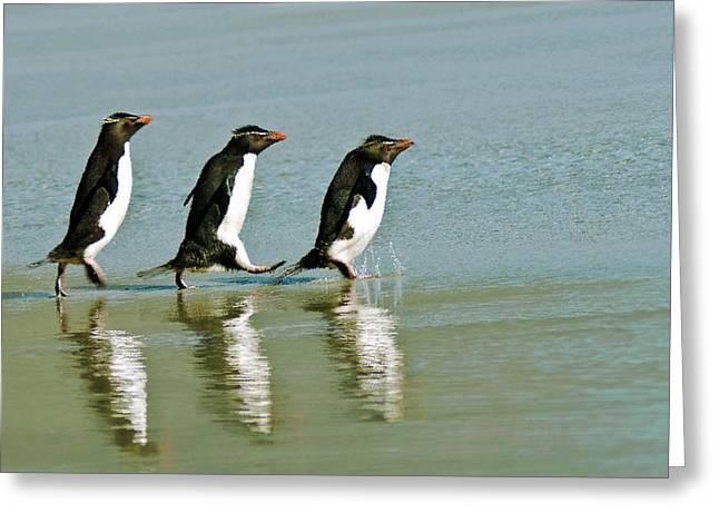 Falklands Greeting Cards - Rockhopper Hop Skip and Jump Greeting Card by Mark H Roberts