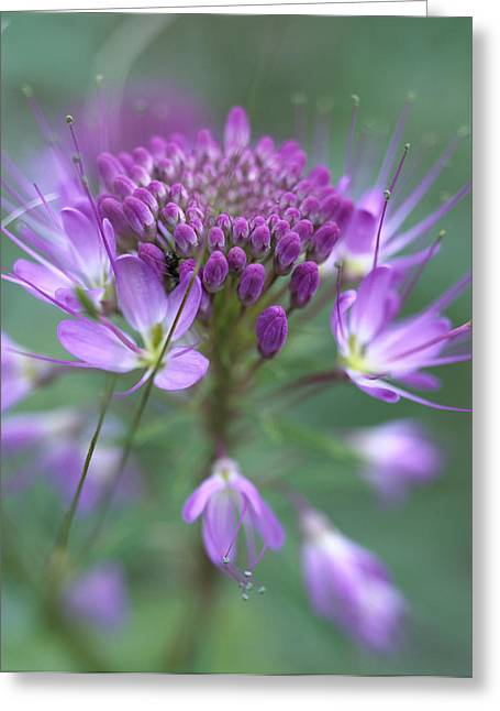 Cleome Flower Greeting Cards - Rocky Mountain Bee Plant Cleome Greeting Card by Tim Fitzharris
