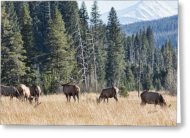Snow Capped Greeting Cards - Rocky Mountain Elk Herd Greeting Card by Bill Kesler