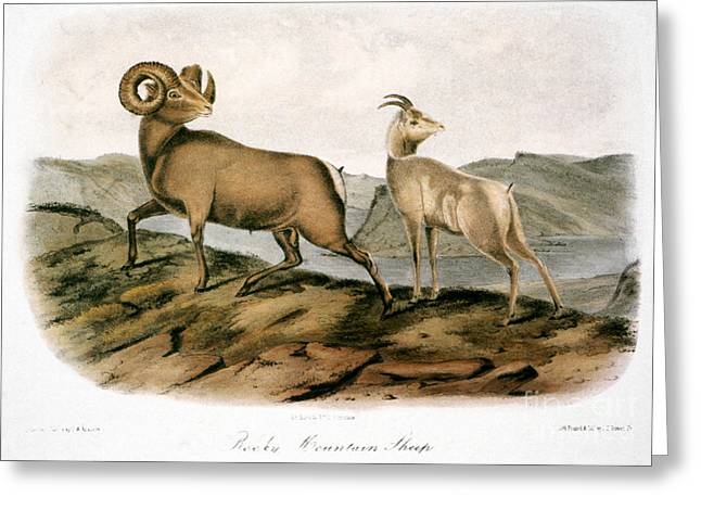 Audubon Greeting Cards - Rocky Mountain Sheep, 1846 Greeting Card by Granger