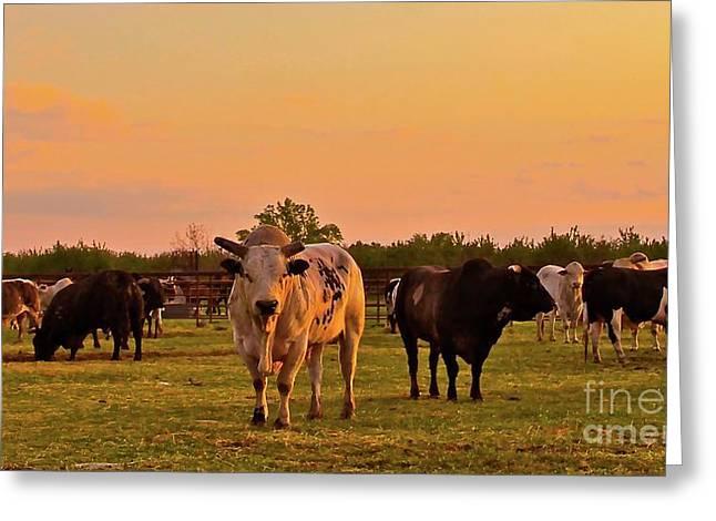 Ranch Digital Art Greeting Cards - Rodeo Bulls at Dawn Greeting Card by Gus McCrea