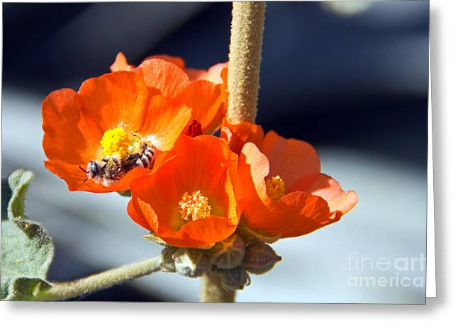 Sphaeralcea Greeting Cards - Rolling in Pollen Greeting Card by Kelly Holm