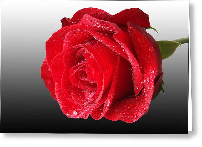 Romantic Rose Greeting Card by Gill Billington