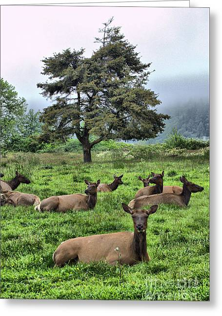 Fog Ceramics Greeting Cards - Roosevelt Elk Lounging Greeting Card by Nena Trapp