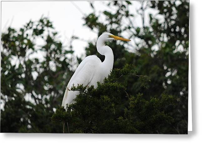 Roost Photographs Greeting Cards - Roosting Egret Greeting Card by Al Powell Photography USA