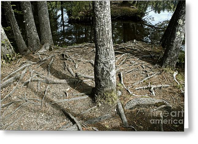 Tree Roots Greeting Cards - Root Bound Greeting Card by Catherine Melvin