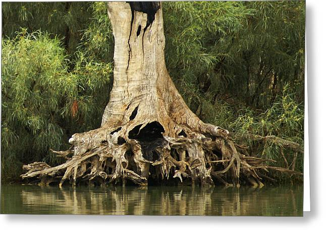 Tree Roots Greeting Cards - Roots of Wisdom Greeting Card by Holly Kempe