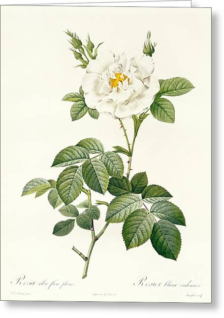 Flower Blooms Drawings Greeting Cards - Rosa Alba flore pleno Greeting Card by Pierre Joseph Redoute