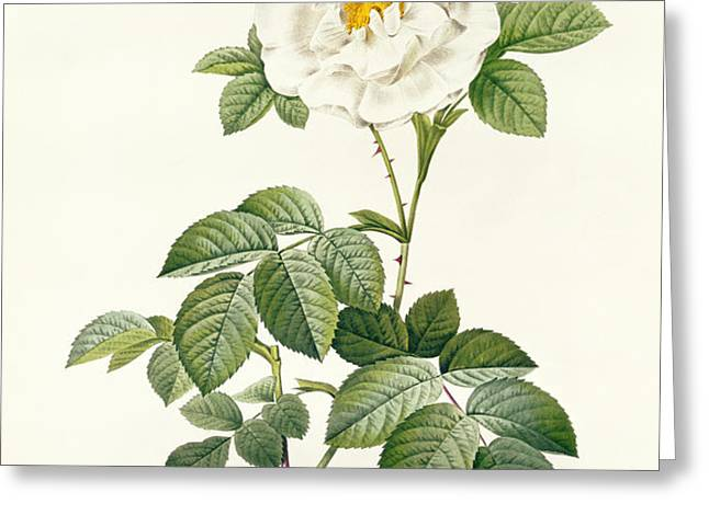 Rosa Alba flore pleno Greeting Card by Pierre Joseph Redoute