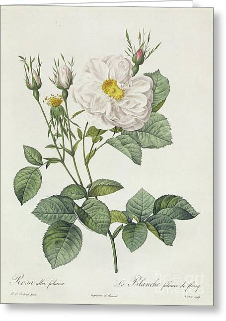 Petal Greeting Cards - Rosa Alba Foliacea Greeting Card by Pierre Joseph Redoute
